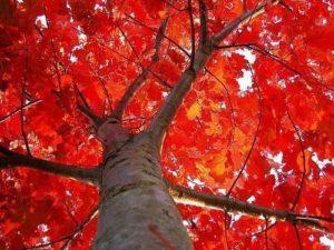 Красный дуб – посадка и уход