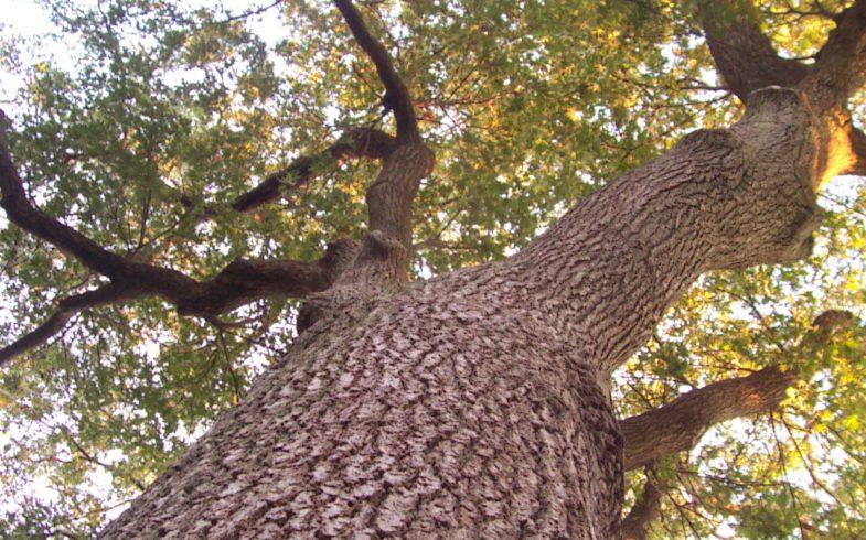 Красный дуб в поэзии
