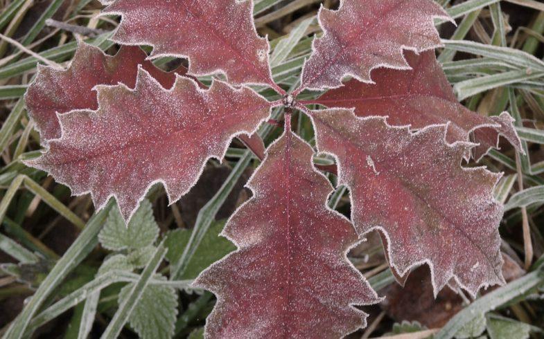 Информация о красном дубе: как вырастить красный дуб