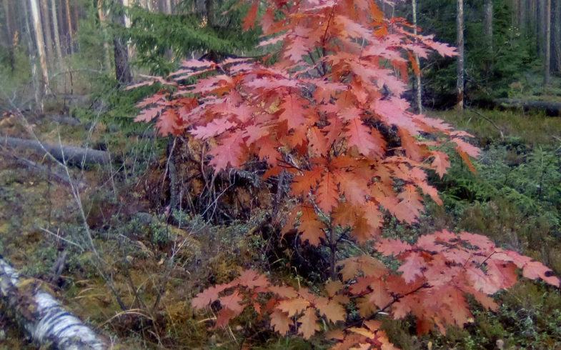 Красный дуб в бору